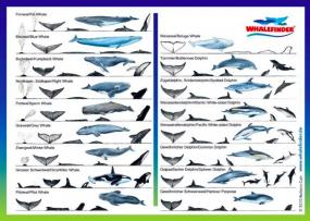 Ansichten Wale und Delfine - Postkarte -